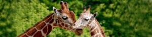 Zwei Giraffen stecken gefühlvoll die Köpfe zusammen. Dahinter Grüner Wald.